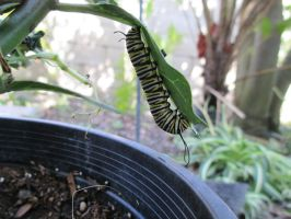 Monarch Caterpillar by TheWiseOldMonkey