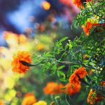 Marigold by incolor16