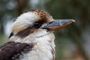 Kookaburra Close Up by SnowPoring