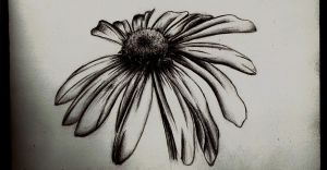 Wilted Daisy- pencil sketch by Tallis