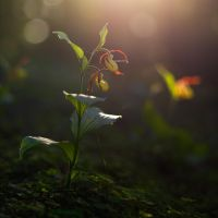 Cypripedium calceolus 6x6 by mescamesh