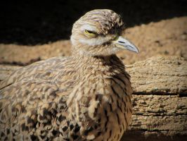 Cape Thick-Knee by HDevers