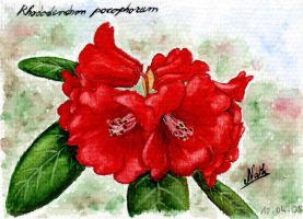 Card 005 Rhododendron pocophor by Romaeangel