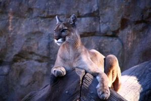 Cougar by Doumanis