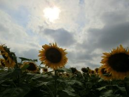 sunflowers by JennIncane