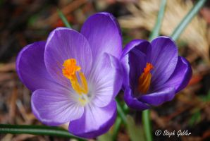 Coming Up Crocus by StephGabler