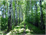 Birch path and a falling tree by DanaAnderson