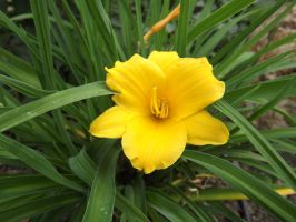Daylily by MameMame187
