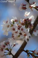 White Cherry Blossom 3 by poetcrystaldawn
