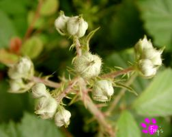 Dog Rose Buds (12.07.13) by LacedShadowDiamond