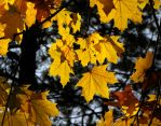 golden leaves of autumn by LjubaBuba
