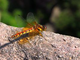 Dragonfly by littlepleasureslife