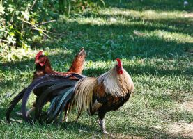 Rooster1 lzn by Crematia18