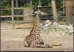 Giraffe Stock 001 by phantompanther-stock