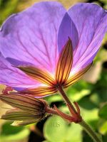 Geranium by iriscup