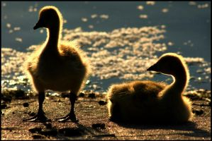 Goslings by FramedByNature