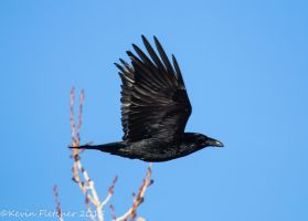 Raven 01 January 11 2015 by sgt-slaughter