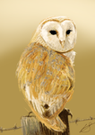 Barn Owl Sketch by louisesaunders