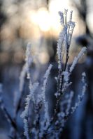 Frozen plant by Irkaaa