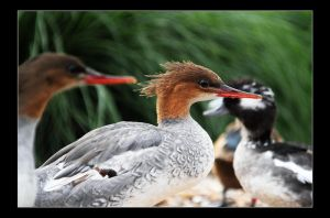 scaly-sided merganser by 21711