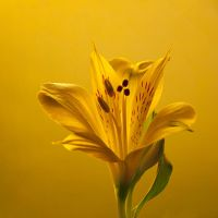 Yellow Lily by Arcius-Azrael