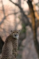 Cheetah 23 by Art-Photo