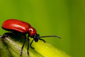 Red Bug by lueap