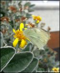 Cabbage White by Snapdragon30