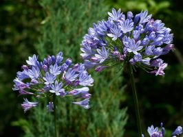 Agapanthus by piglet365