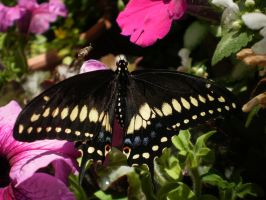 Black Swallowtail With A Bee by Pentacle5