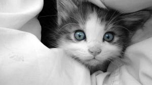 Blue eyed Kitty by TetsuSN
