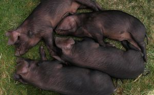 Piggies in the park by Oniroid