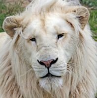 White Lion by carterr