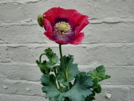 Perfect Poppy by Thelma1