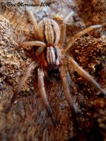 Wolf Spider II by BreeSpawn