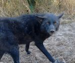Another Black Coyote! by RabidTrapper