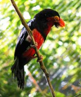 Bearded Barbet by wonenownlee