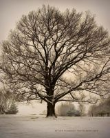 Oak Tree - Winter by nevinK