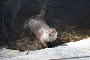 Little Otter by Brottsligt