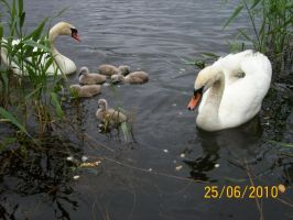 Swans family by RetroCharo