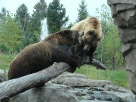 Brown Bear Stock5 by Gnewi-Stock