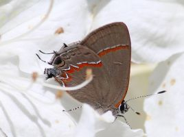 Red banded hairstreak 2 by Laur720