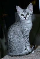 Khemi - Egyptian Mau by JMeasles