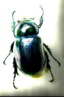 Scarab (polychrome pencils C,M,Y and Indigo) by cpxavier