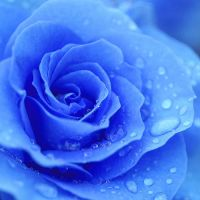Blue Rose by Katara1991