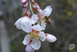 almonds flower and bee 2 by trollwaffle