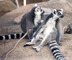 Lemur Love by primalx