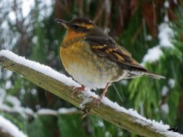 Thrush In The Snow by wolfwings1