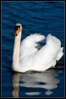 Swan by george-kay