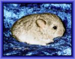 Chinchilla Rapsody in Blue by Villa-Chinchilla